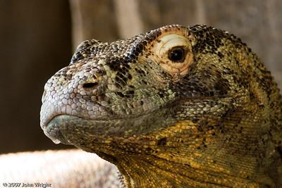 """Aren't I handsome?""  Komodo Dragon"