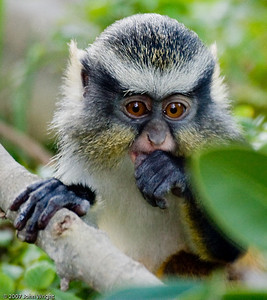 Baby Wolf's Guenon