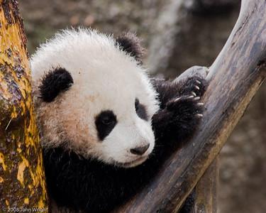 """Five month-old Giant Panda """"Zhen Zhen"""""""