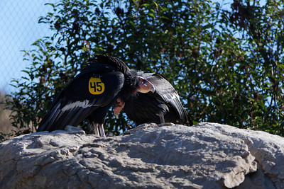 They have some condors in a netted area where they can heal, until they are well enough to be released into the wild.