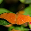 Orange Julia