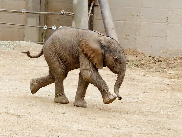 SAN DIEGO ZOO SAFARI PARK'S AFRICAN ELEPHANTS