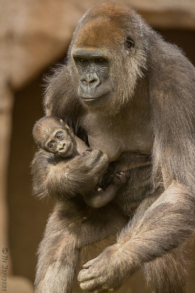 WESTERN GORILLA<br /> Imani and her baby daughter.