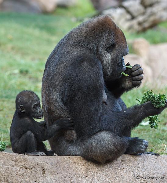 WESTERN GORILLA<br /> MOM IMANI AND DAUGHTER JOANNE