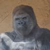 Western Gorilla, male, Winston