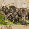JUVENILE MALE WESTERN GORILLAS MONROE AND FRANK.