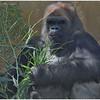"""""""Winston"""" the Western Gorilla silverback"""