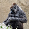 WESTERN GORILLA<br /> 22 year old female Kokamo with her 3 month old son Monroe.