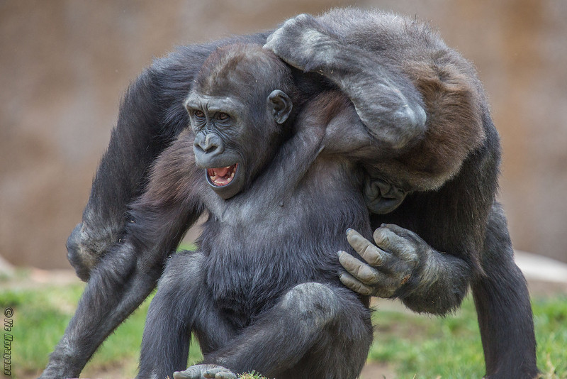 WESTERN GORILLA<br /> FRANK AND MONROE AT PLAY