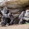 WESTERN GORILLA<br /> IMANI, JOANNE AND FRANK