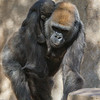 WESTERN GORILLA<br /> IMANI WITH DAUGHTER JOANNE