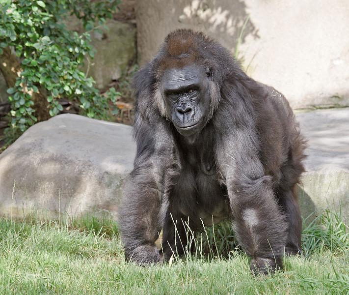 Western Gorilla, female Kamilah