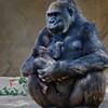 Western Gorilla - 22 year old female Kokamo and her son born June 17, 2011.