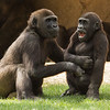 WESTERN GORILLA<br /> 5 year-old male - Frank and 33 month-old Monroe.