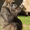 WESTERN GORILLA<br /> 57 year-old female -  Vila.