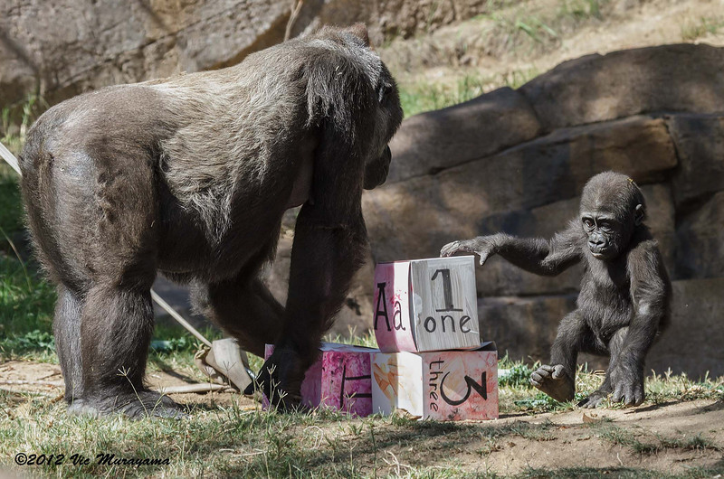 WESTERN GORILLA<br /> Monroe, a year-old male whose birthday is today, 6/17/2012 with mom Kokamo.