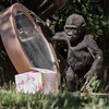 WESTERN GORILLA<br /> Monroe, a year-old male whose birthday is today, 6/17/2012.