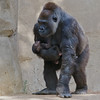 Western Gorilla - 22 year old female Kokamo and her son born June 17, 2011.