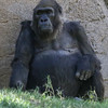 WESTERN GORILLA<br /> VILA WHO JUST CELEBRATED HER 57TH BIRTHDAY ON 10/27/14