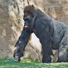 "Western Gorilla silverback ""Winston"""