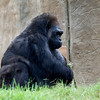 WESTERN GORILLA<br /> 34 year old female Kamilah.