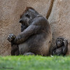 4 MONTH OLD FEMALE BABY GORILLA WITH HER MOM KOKAMO.