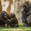 WESTERN GORILLA<br /> Frank and Monroe at play with Winston watching.