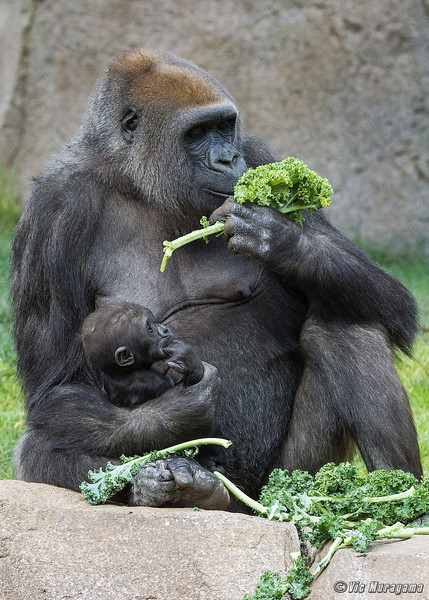 WESTERN GORILLA<br /> IMANI AND HER 3 MONTH-OLD DAUGHTER.