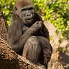 WESTERN GORILLA<br /> 5 year-old male - Frank