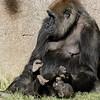 WESTERN GORILLA<br /> IMANI AND HER DAUGHTER JOANNE
