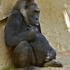 Female Western Gorilla