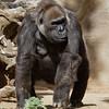 Western Gorilla - Viia, a 53 year old female.