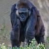 Western Gorilla - female Kamilah