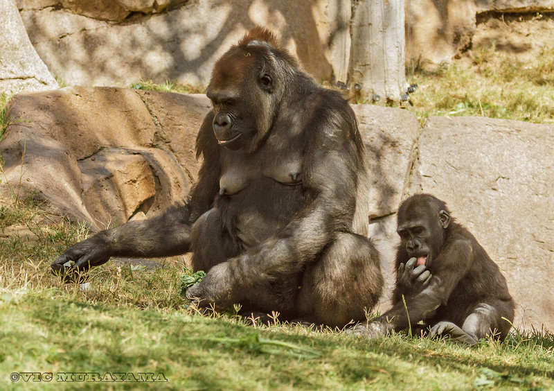 FEMALE WESTERN GORILLA KOKAMO AND HER SON MONROE.