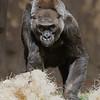Western Gorilla - female Alberta