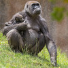 WESTERN GORILLA<br /> IMANI WITH HER 11 WEEK-OLD DAUGHTER