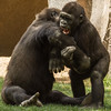 WESTERN GORILLA<br /> Frank and Monroe at play.