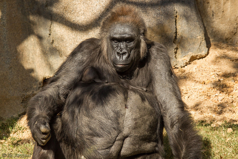 WESTERN GORILLA<br /> 36 year-old female -  Kamilah.
