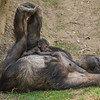 WESTERN GORILLA<br /> Imani and her 17 day-old daughter.