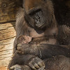 WESTERN GORILLA<br /> Imani and her 16 day-old daughter.