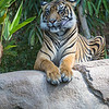 SUMATRAN TIGER<br /> JOANNE