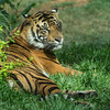 SUMATRAN TIGER<br /> 2 YR OLD MALE CONRAD