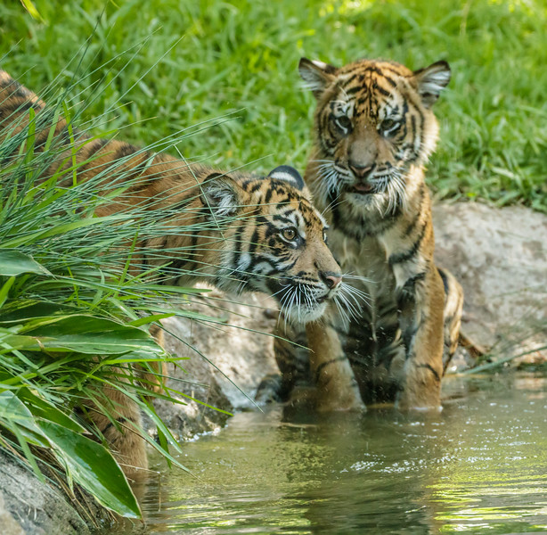 CATHY TRYING TO GET NELSON OUT OF THE POOL.<br /> 7 MONTH OLD CUBS BORN 1/28/2016.