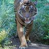SUMATRAN TIGER<br /> CONRAD