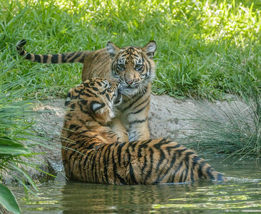 CATHY TRYING TO GET NELSON OUT OF THE POOL. 7 MONTH OLD CUBS BORN 1/28/2016.