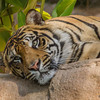 SUMATRAN TIGER<br /> 2 YR OLD MALE