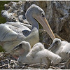 Pink-backed Pelican and 4 week old chicks.