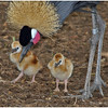 West African Crowned Crane and chicks