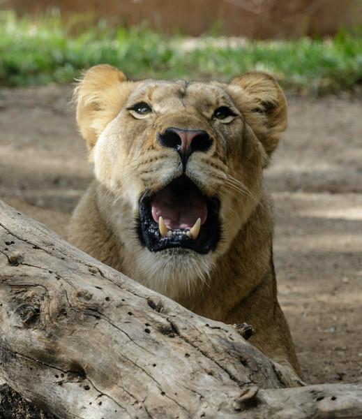AFRICAN LION CUB<br /> 1½ YR OLD FEMALE