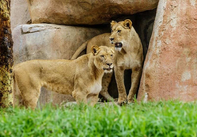 AFRICAN LION CUB<br /> 1½ YR OLD FEMALES
